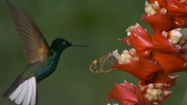 Hummingbird (Trochilidae) and butterfly feed from flowers in forest, Ecuador