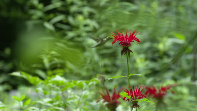 hummingbird approaching monarda flower, high speed - ruby throated hummingbird stock videos and b-roll footage
