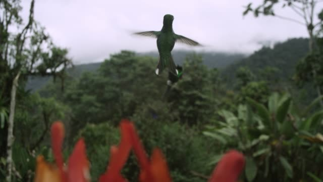 vídeos de stock e filmes b-roll de hummingbird chases away rival in forest, ecuador - equador américa do sul