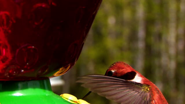 hummingbird close up - ruby throated hummingbird stock videos and b-roll footage