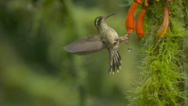 hummingbird (trochilidae) dislodges water droplets from flower, ecuador - bird stock videos & royalty-free footage