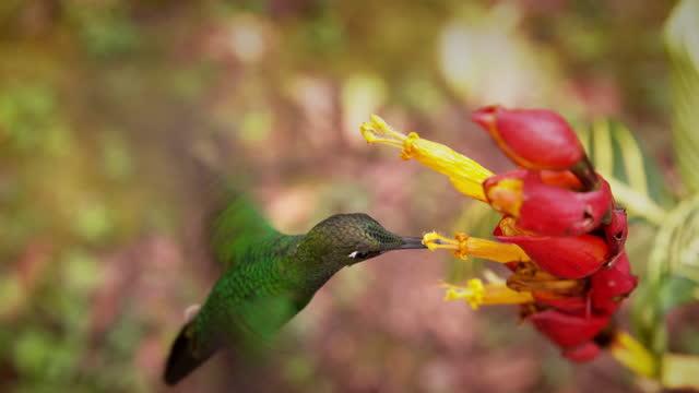 hummingbird eating prey / ecuador - kolibri stock-videos und b-roll-filmmaterial