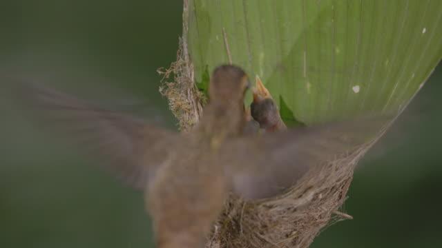 CU Hummingbird feeding chicks in nest / Barro Colorado Island, Panama
