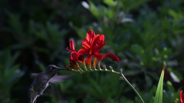 hummingbird feeding from flowers closeup - hummingbird stock videos and b-roll footage