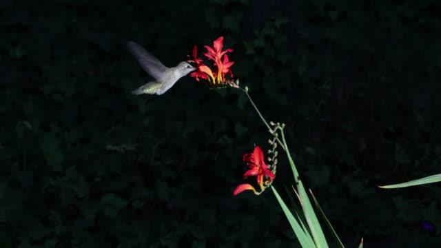 hummingbird feeding from flowers - kolibri stock-videos und b-roll-filmmaterial