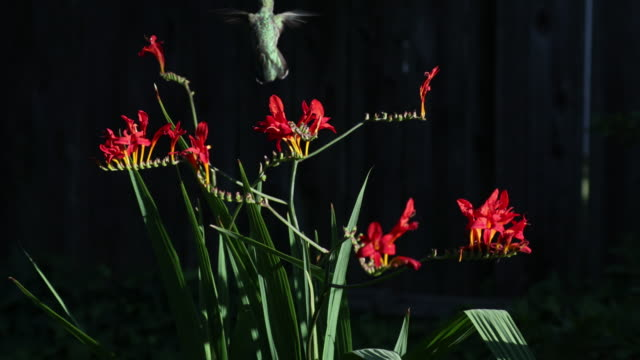 hummingbird feeding from flowers - pollination stock videos & royalty-free footage