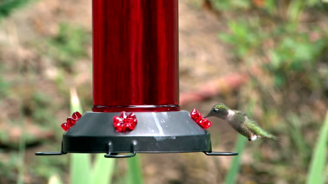 hummingbird feeding in afternoon - ruby throated hummingbird stock videos and b-roll footage
