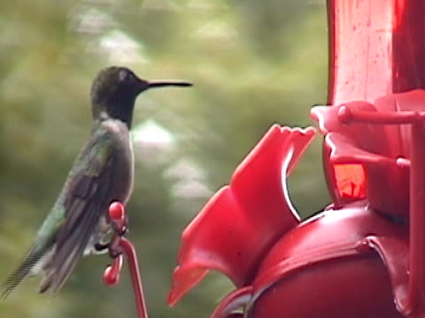 hummingbird feeding in summer - ruby throated hummingbird stock videos and b-roll footage