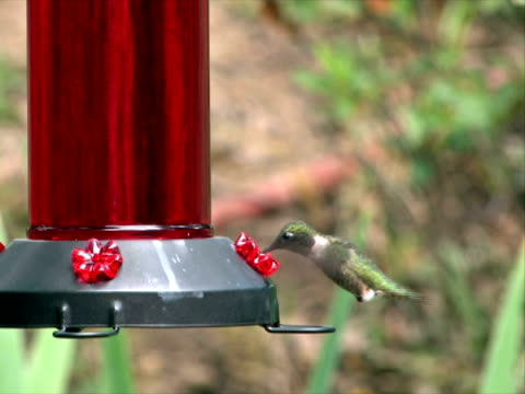 hummingbird feeding in the afternoon ntsc - ruby throated hummingbird stock videos and b-roll footage