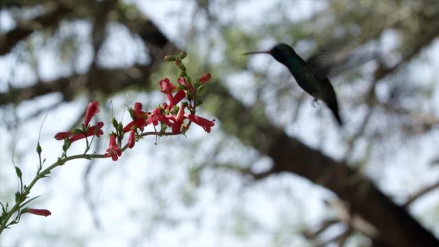 vídeos de stock e filmes b-roll de a hummingbird feeding on red flowers. - beija flor