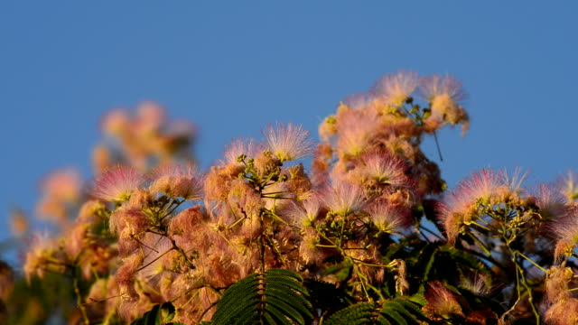Hummingbird Feeding on Silk Tree Flowers