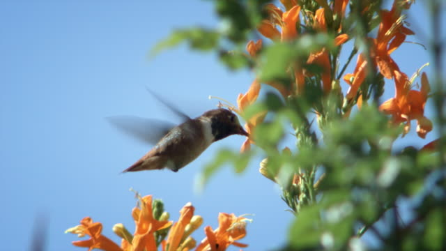 vídeos de stock, filmes e b-roll de slo mo ms r/f hummingbird feeding on yellow flower, los angeles, california, usa - hummingbird