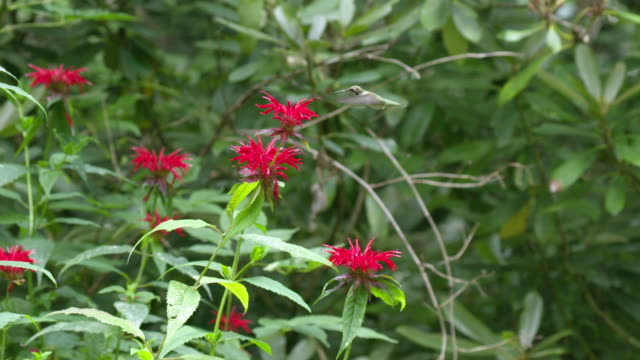 hummingbird feeds and flutters on monarda, high speed - ruby throated hummingbird stock videos and b-roll footage