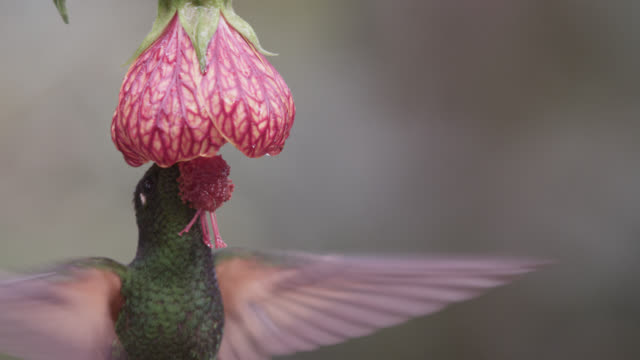 vidéos et rushes de hummingbird (trochilidae) feeds from flower in forest, ecuador - animaux à l'état sauvage