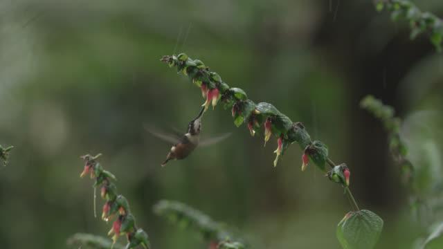 stockvideo's en b-roll-footage met hummingbird (trochilidae) feeds from flowers in rain, ecuador - ecuador