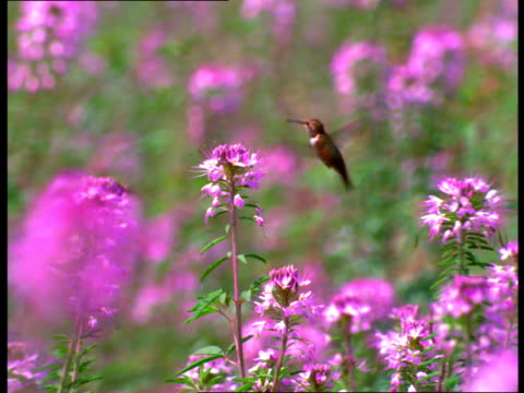 a hummingbird feeds in a field of pink flowers. - hummingbird stock videos and b-roll footage