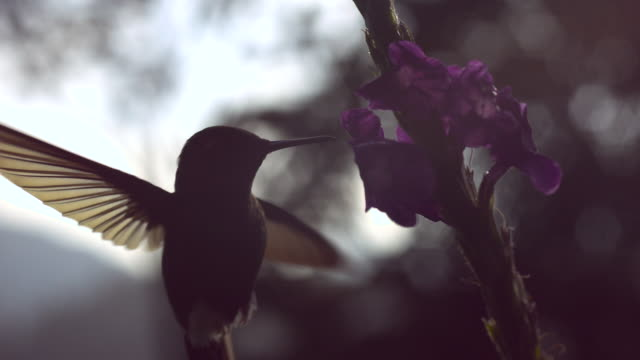 hummingbird (trochilidae) feeds in forest, ecuador - hummingbird stock videos and b-roll footage