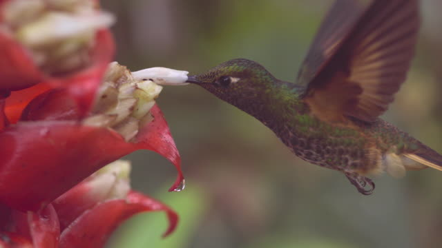 hummingbird (trochilidae) feeds in forest, ecuador - tierflügel stock-videos und b-roll-filmmaterial
