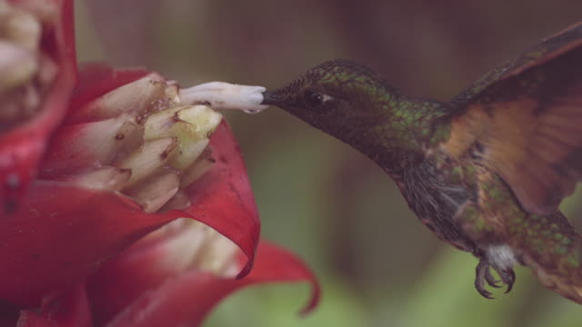 vídeos de stock e filmes b-roll de hummingbird (trochilidae) feeds in forest, ecuador - equador américa do sul