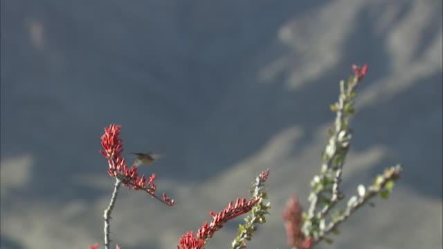 vídeos de stock e filmes b-roll de hummingbird feeds in mountain range - beija flor