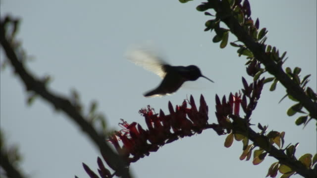 Hummingbird feeds in silhouette