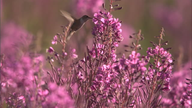 vídeos de stock, filmes e b-roll de hummingbird (trochilidae) feeds on flowering fireweed (chamerion angustifolium), yellowstone, usa - hummingbird