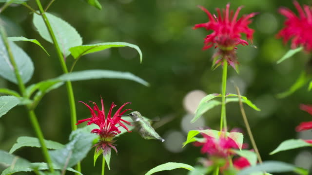hummingbird feeds on monarda - insect present, high speed - ruby throated hummingbird stock videos and b-roll footage