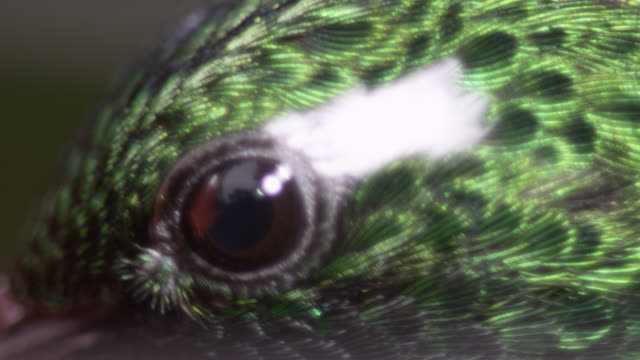 vídeos de stock, filmes e b-roll de hummingbird (trochilidae) feeds on nectar in forest, ecuador - olho de animal