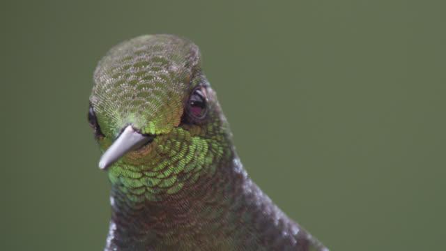 hummingbird (trochilidae) feeds on nectar in forest, ecuador - hummingbird stock videos and b-roll footage
