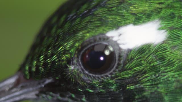 hummingbird (trochilidae) feeds on nectar in forest, ecuador - feeding stock videos & royalty-free footage