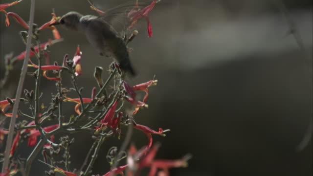 Hummingbird feeds
