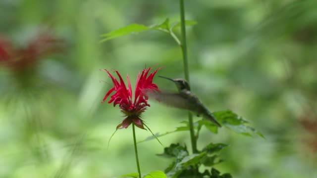 hummingbird flies around monarda flower, close up high speed - becco video stock e b–roll