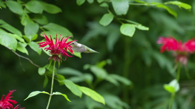 hummingbird flies away from monarda flower, high speed - ruby throated hummingbird stock videos and b-roll footage