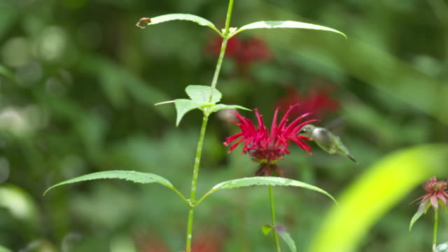hummingbird forages on monarda flower, high speed - ruby throated hummingbird stock videos and b-roll footage