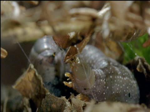 hummingbird hawkmoth caterpillar begins to spin silk cocoon - kolibri stock-videos und b-roll-filmmaterial