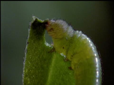 hummingbird hawkmoth caterpillar eats leaf - kolibri stock-videos und b-roll-filmmaterial