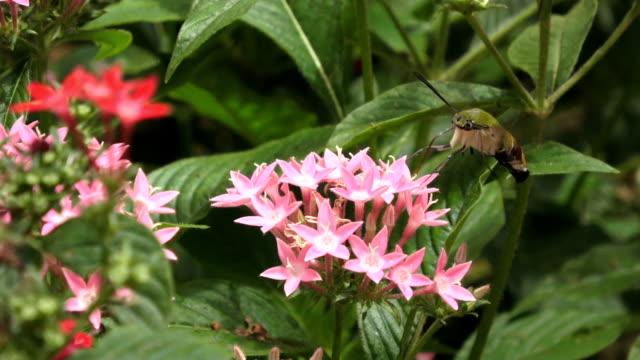 kolibri-falkenmotte, die sich von einer rosa blume ernährt. - kolibri stock-videos und b-roll-filmmaterial