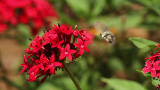 hummingbird  hawk-moth on red flower - moth stock videos and b-roll footage