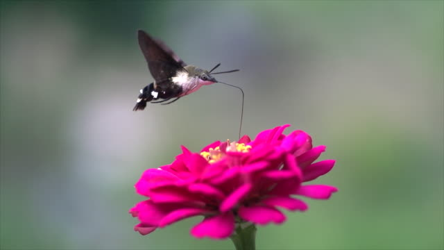 vídeos de stock e filmes b-roll de hummingbird hawk-moth (macroglossum bombylans) sipping nectar - one animal