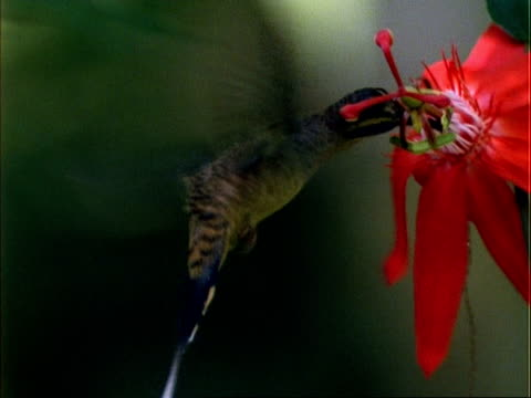 vídeos de stock, filmes e b-roll de hummingbird, cu hermit hummingbird hovers at and collects pollen from red flower, panama. - pólen