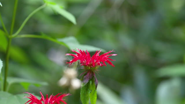 hummingbird hovers & feeds on monarda flower, high speed - ruby throated hummingbird stock videos and b-roll footage