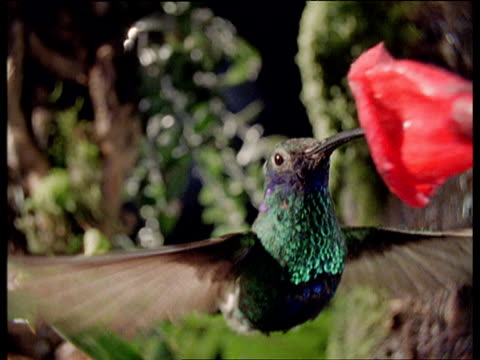 hummingbird hovers and feeds before being frozen in time by timeslice - 空気力学点の映像素材/bロール