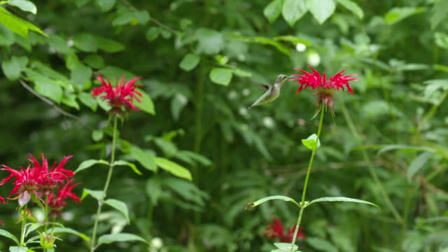 hummingbird hovers and feeds on monarda flower, high speed pan - ruby throated hummingbird stock videos and b-roll footage
