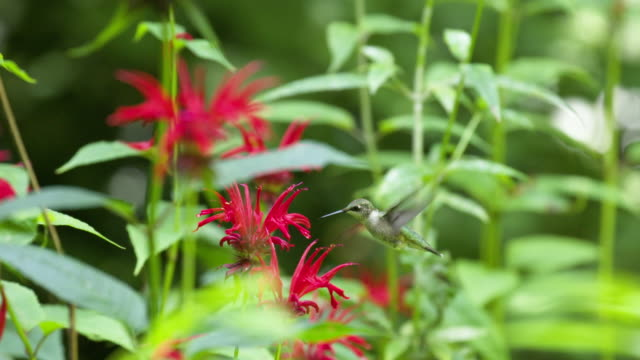 hummingbird hovers around monarda flower, high speed - ruby throated hummingbird stock videos and b-roll footage