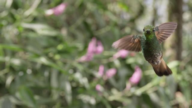 Hummingbird (Trochilidae) hovers in forest, Ecuador