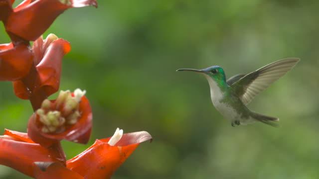 hummingbird (trochilidae) hovers near flowers in forest, ecuador - kolibri stock-videos und b-roll-filmmaterial
