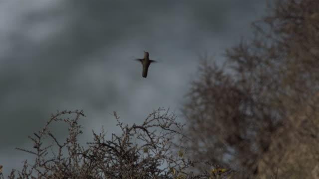 a hummingbird hovers over brambles. - hummingbird stock videos & royalty-free footage