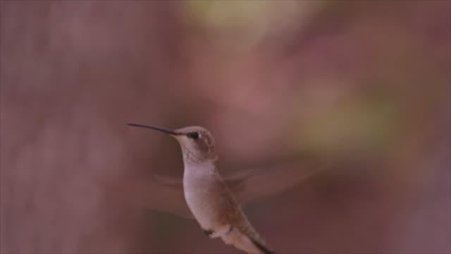hummingbird  in flight - kolibri stock-videos und b-roll-filmmaterial