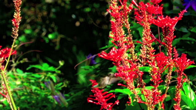 hummingbird in slow motion - ruby throated hummingbird stock videos and b-roll footage