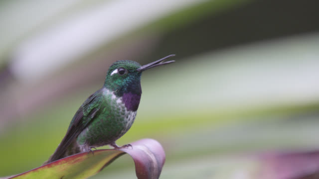 hummingbird (trochilidae) lands on bromeliad in forest, ecuador - perching stock videos & royalty-free footage